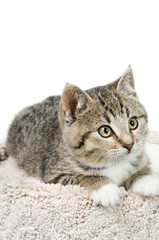Tabby Kitten Portrait