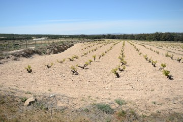 Vineyard near  town of Torrevieja.