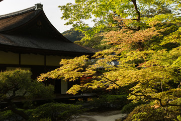 Green maple trees in the Japanese garden.