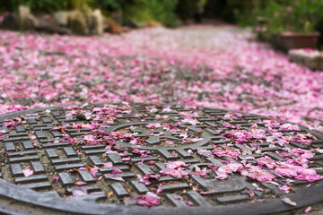 Falling cherry blossom petals on the sewer lid.
