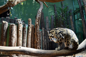 Two young leopard in a zoo