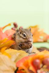 胡桃を食べるシマリスと落ち葉