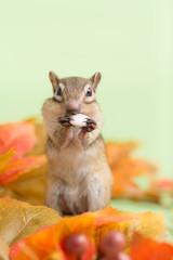 かぼちゃの種を食べるシマリスと落ち葉