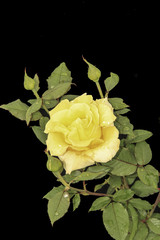 yellow rose on a black background