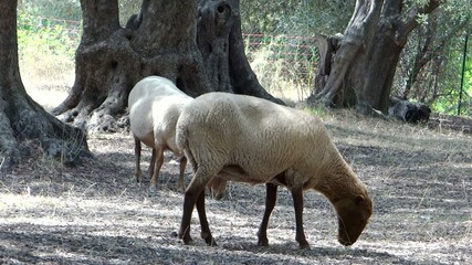 two sheeps in an olive grove