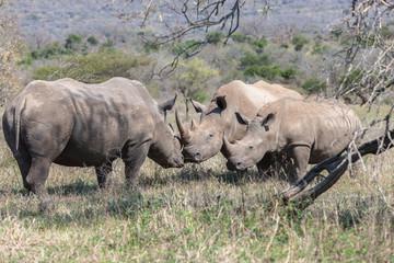 Wildlife Rhinos Calf Courting Touching Mating Season