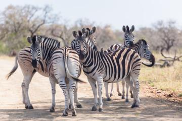 Wildlife Zebra's Under Tree