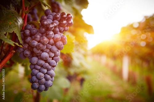 Leinwanddruck Bild Vineyards at sunset in autumn harvest