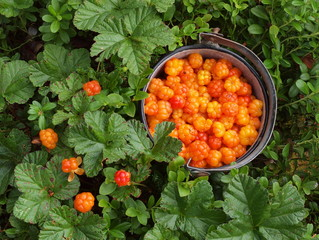 Moltebeere, Rubus chamaemorus