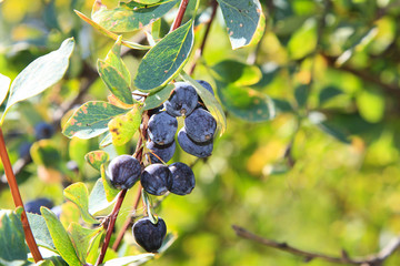 Barberry berries on a branch