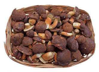 Maronenröhrlinge - Boletus badius