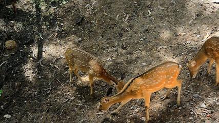 Brown sika deer grazing