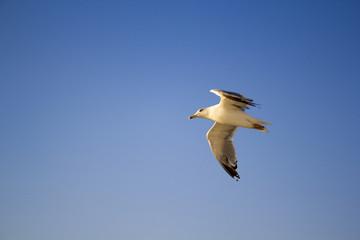 Uçan Kuş, Gökyüzü, Martı