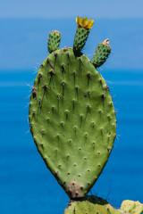 Aréole Opuntia