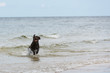 canvas print picture - Labrador Retriever Hund läuft aus dem Meer ans Ufer