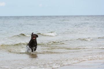 Labrador Retriever Hund läuft aus dem Meer ans Ufer