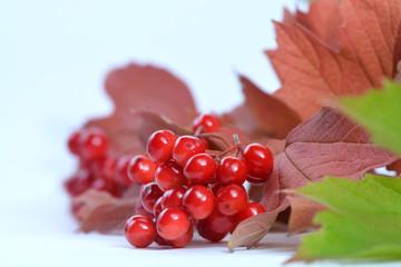 Rote Beeren Strauch