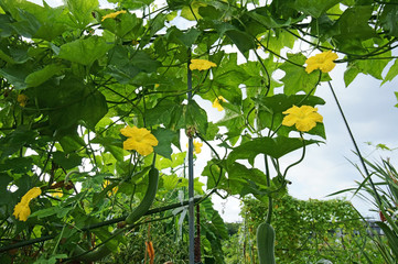 食用ヘチマ栽培