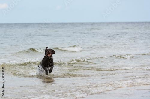 canvas print picture Labrador Retriever Hund läuft aus dem Meer ans Ufer