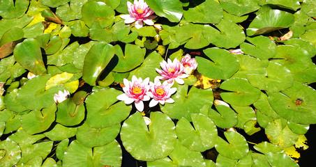 Flora acuática