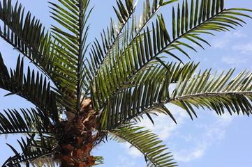 American Palm Tree
