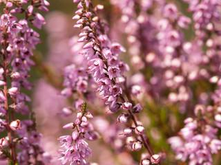 Blühende Heide -Erika- caluna vulgaris