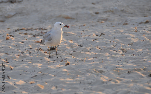 canvas print picture Möwe am Strand
