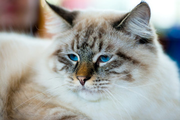 Ragamuffin cat portrait