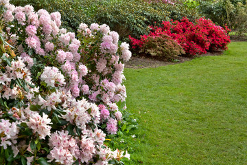Azaleas in the spring park.