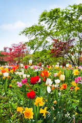Colorful tulips in the park.