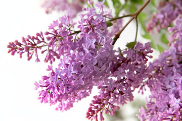 Branch of blooming lilacs.