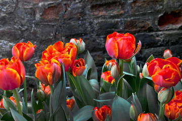 Group of yellow tulips on a background of a brick wall.