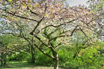 Cherry blossoms. Spring landscape.