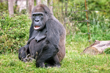 Gorille femelle de 44 ans