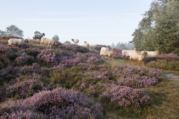 sheep on purple blooming heather