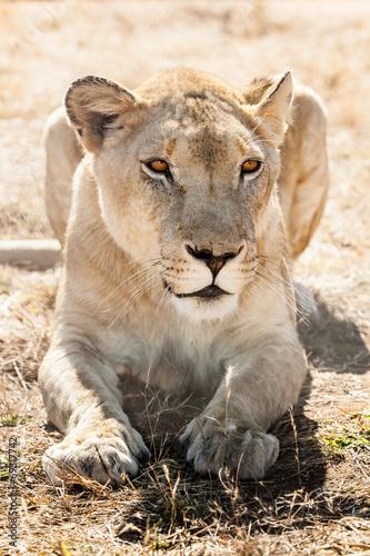 Papiers peints Hyène resting lioness