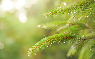 fir branch in soft focus