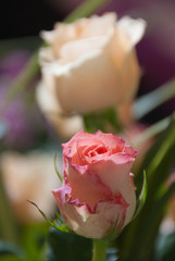 Romance pink roses