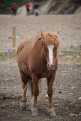 cheval islandais