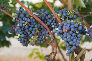 Young blue grapes in the home vineyard
