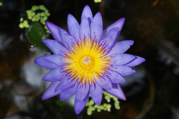 lotus flower (water lily) blooming in pond