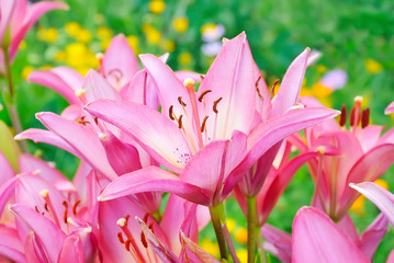 Red lily (Lilium) flower