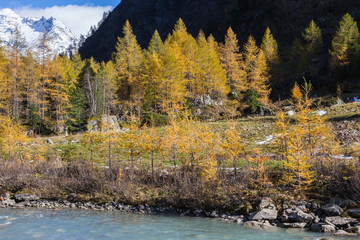 Larch tree forest in fall