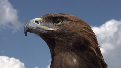 Bird of Prey in Profile