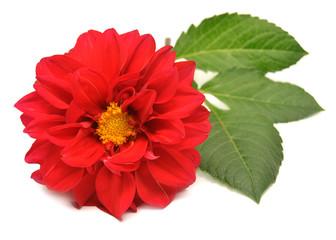 Red dahlia with leaf