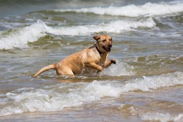 Labrador Retriever Hund spielt in den Wellen der Ostsee