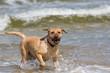 canvas print picture - Labrador Retriever Hund ist erschöpft nach dem Spiel