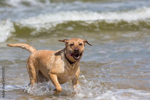 canvas print picture Labrador Retriever Hund ist erschöpft nach dem Spiel