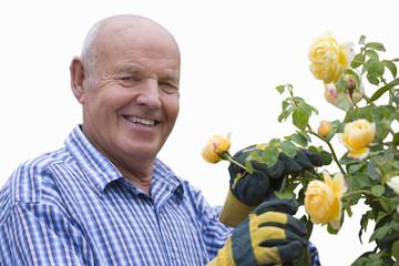 senior man pruning yellow rose bush, cut out