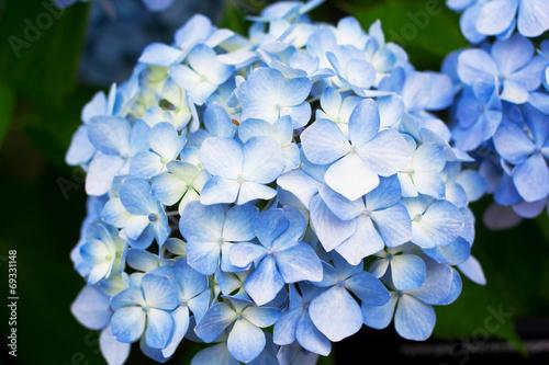 Staande foto Hydrangea Blue Hydrangea flowers